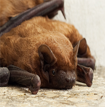 Fairfax Station bat removal
