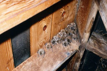Fairfax Station bats in attic
